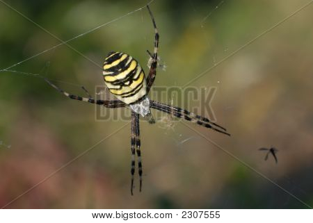 Wasp Spider Female