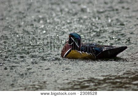 Showering Duck