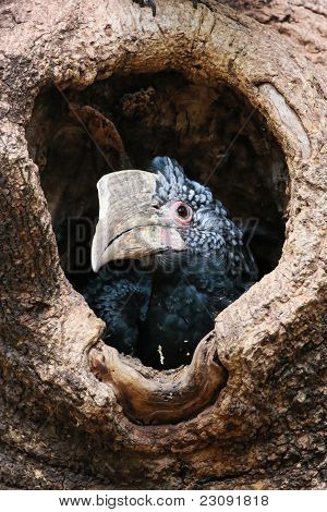Silvery-cheeked Hornbill In Its Nest