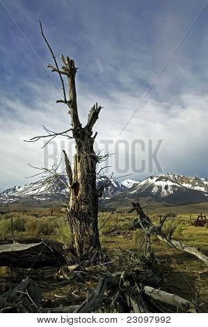 Old Weathered Tree In The High Sierras
