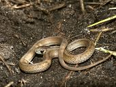 picture of winnebago  - A Brown Snake  - JPG