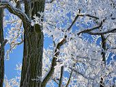 stock photo of frostbite  - frostbite acacia branches with a beautiful blue background - JPG