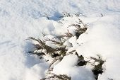 Juniper Bushes In The Snow. First Snow. Snow In The Garden On The Coniferous Bushes. Green Juniper S poster