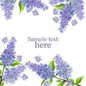 pic of lilac bush  - Beautiful background with blossoming branch of lilac - JPG