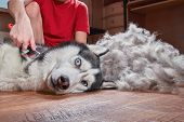 Concept Molting Pet. Grooming Undercoat Dog. Boy Combs The Wool From The Siberian Husky. Husky Dog L poster