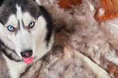 Concept Annual Molt, Coat Shedding, Moulting Dogs. Siberian Husky Lies On Wooden Floor In Pile His F poster