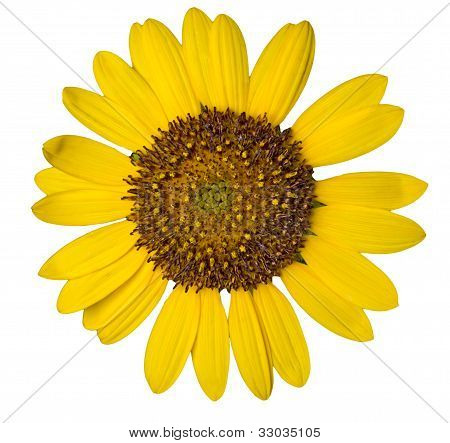 Sunflower Weed Isolated