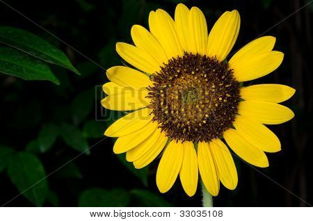 Sunflower Weed