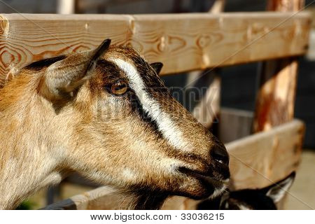 Brown Goat