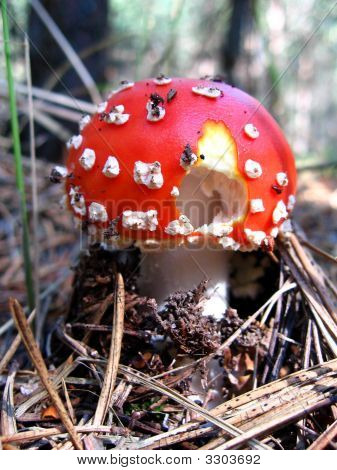 Uneatable Mushroom