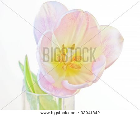 A Single Tulip Blossom In A Vase
