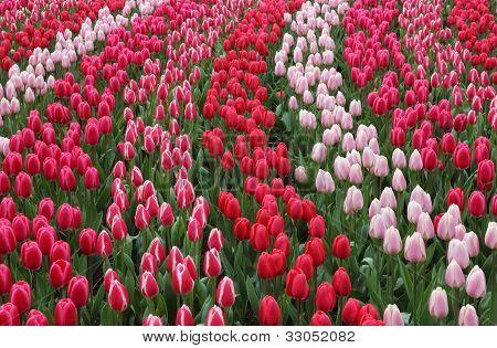 Keukenhof Garden Red Tulips