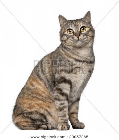 Kurilian Bobtail cat, 1 year old, sitting in front of white background