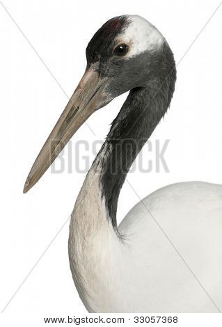 Young Red-crowned Crane, Grus japonensis, also called the Japanese Crane or Manchurian Crane in front of white background