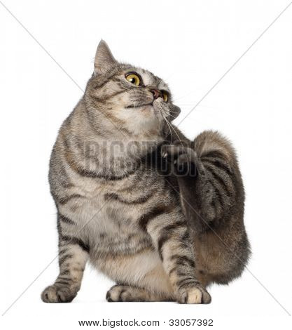 Kurilian Bobtail cat, 1 year old, scratching in front of white background