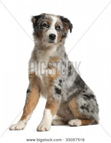 Portrait of Australian Shepherd, 5 months old, sitting in front of white background