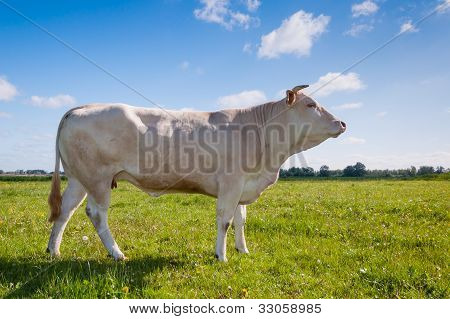 White Cow With Horns Posing In A Typical Dutch Landscape