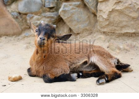 Beauty Baby-Goat