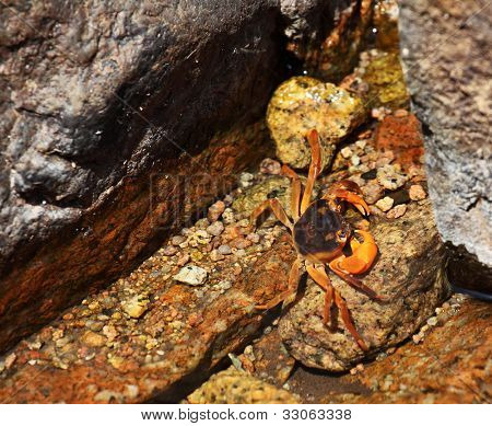 Endemic fresh water crab living in the mountains of Socotra island