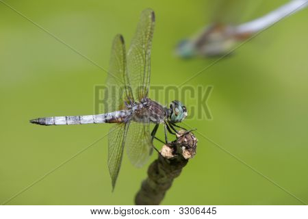Blue Dasher Dragonfly (Pachydiplax Longipennis)