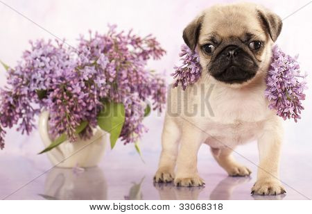 close-up portrait pug puppy and spring lilas flowers