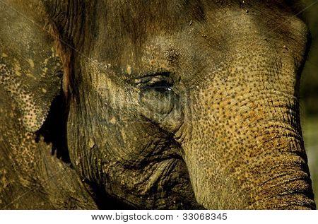Close Up Elephant Face
