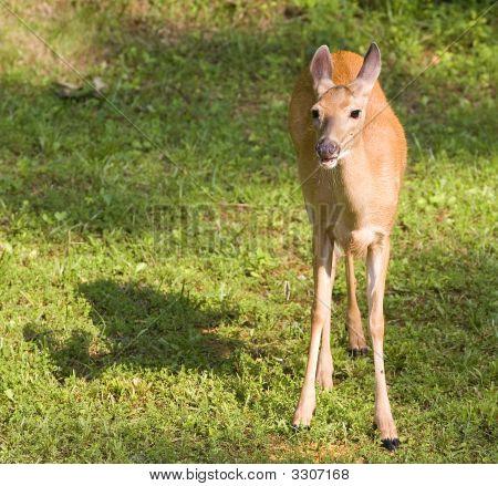 Drooling Deer