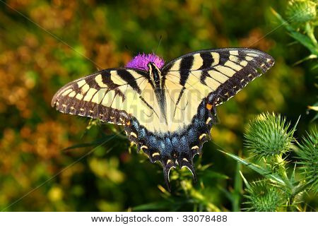 Tiger Swallowtail In Illinois