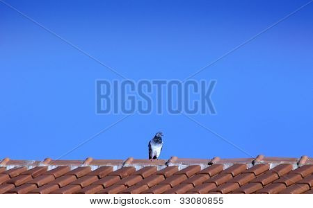 Animal theme: Pigeon on roof - Horizontal scene