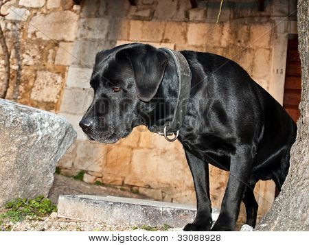 Black labrador dog Hugo