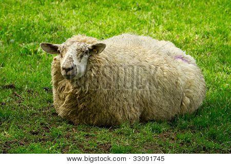 Irish sheep in Killarney