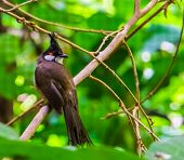 Closeup Of A Red Whiskered Bulbul, Tropical Bird With A Black Crest, Exotic Animal Specie From Asia poster