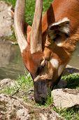 pic of bongo  - Critically endangered species Eastern Bongo  - JPG