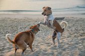 Canine Activities. Two Dogs Playing On A Tropical Sandy Waterfront Beach With One Dog Standing On Hi poster