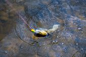 Fishing - Relaxing And Enjoying Hobby. Fish On The Hook. Still Water Trout Fishing. Concepts Of Succ poster