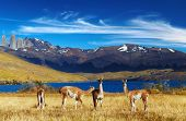 pic of pain-tree  - Guanaco in Torres del Paine National Park - JPG