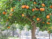 stock photo of orange-tree  - a sour orange  - JPG