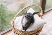 Charming Little Gray Kitty Sitting On White Pillow In Wooden Basket And Looking Upward. Cute Active  poster