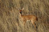 Steenbok Feline (raphicerus Campestris) Staying In Dry Golden Grass In Red Sand Of Kalahari Desert.  poster