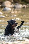 Rottweiler Pet Dog Having Fun In The River Fetching And Playing In The Water poster