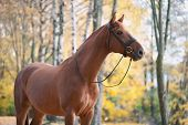 Portrait Of Graceful Thoroughbred Red Horse Standing On Autumn Background. Multicolored Horizontal O poster