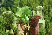 Trumpet Pitcher (sarracenia Sp.) - Carnivorous Plant Closeup poster