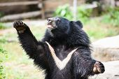 Asiatic Black Bear Standing And Relax In The Summer / Black Bear With Chest The V Shape Is White Woo poster