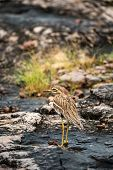 Indian Stone Curlew Or Indian Thick Knee Bird On Wet Rocks During Monsoon Safari At Ranthambore Nati poster