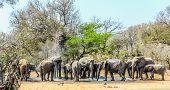 Big Breeding Herd And Family Of Elephants In Kruger National Park , Africa During A Hot Summer Day poster