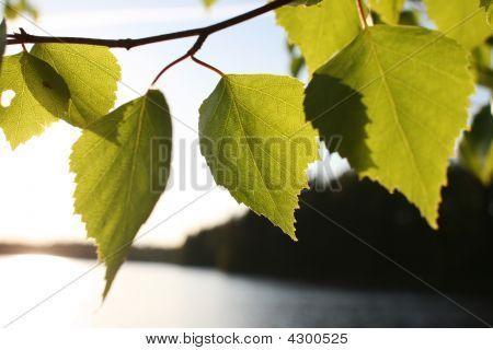 Birch Leafes