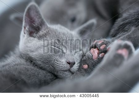 "Sleeping kitten (breed ""Russian Blue"") on a blue background"