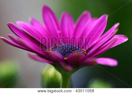 Flower Osteospermum