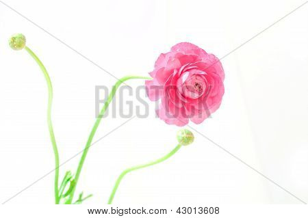 Peony With Two Buds