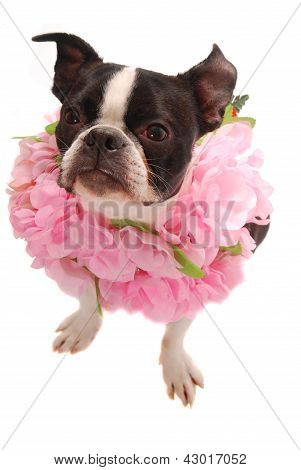 Boston Terrier Dog Wearing Hawaiian Lei